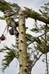 Rizikové kácení a ořez stromů