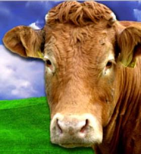 chov dobytka