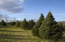 Sazenice vánočních stromků