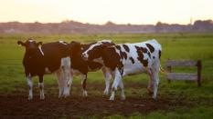 Hovězí maso - Zemědělské družstvo Klapý