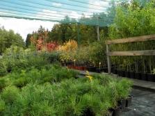 Sazenice lesních a okrasných dřevin