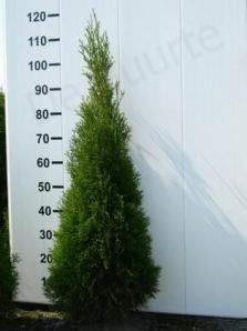 Thuja Smaragd 100 - 125 cm