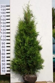 Thuja Brabant 200 - 250 cm