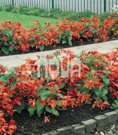 Begonia Bertinii Worthiana Begónia