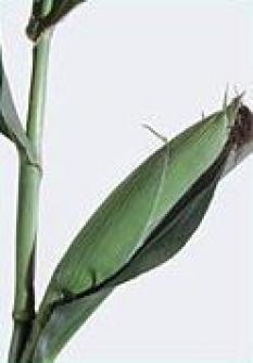 Silážní kukuřice