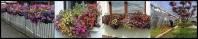 Predaj sadeníc balkónových kvetov