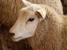 Výkup jatečních ovcí a jehňat