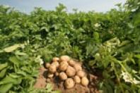 Prodej a distribuce brambor