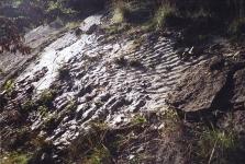 Čeřiny na ordovických břidlicích v Loděnici u Berouna